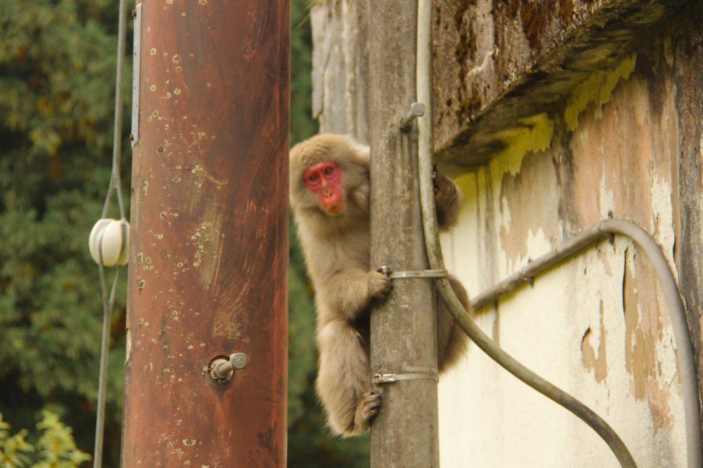 Affe in Nikko